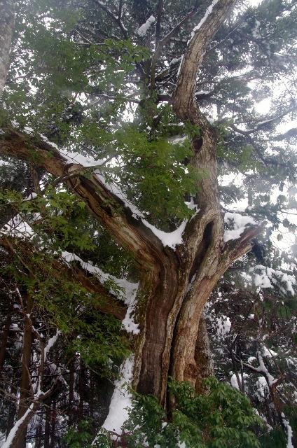 白倉岳のアシウスギ