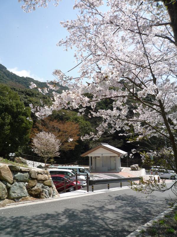 桜がきれいに満開☆ 日本人で ...