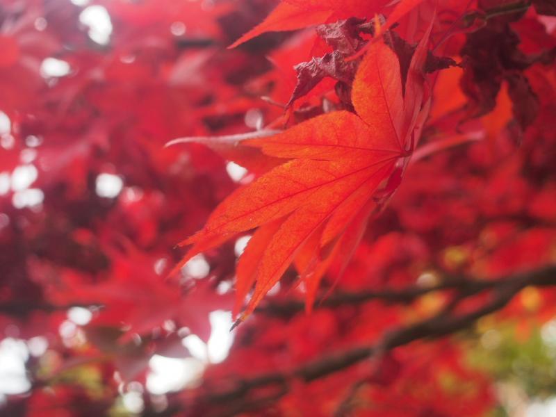 真っ赤な紅葉を見に丹沢大山へ